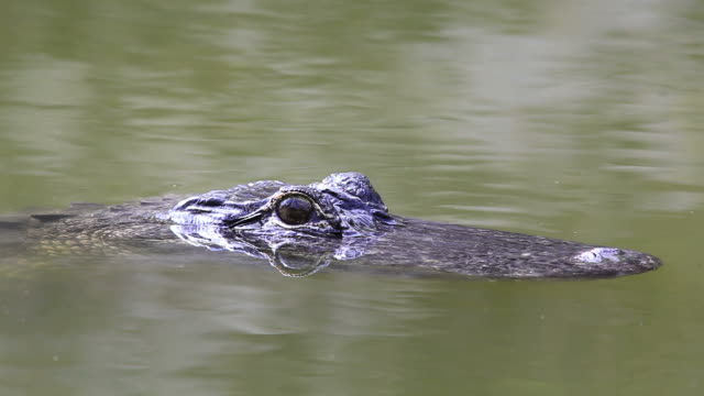 wild gator - backwater stock videos & royalty-free footage