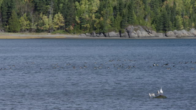 Wild geese and seagulls in St. Lawrence River