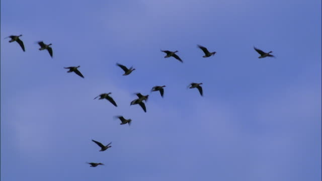 wild geese fly in formation in a blue sky. - vogelschwarm stock-videos und b-roll-filmmaterial