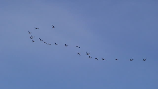 wild geese flying - distant stock videos & royalty-free footage