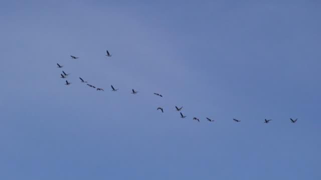 wild geese flying - avlägsen bildbanksvideor och videomaterial från bakom kulisserna
