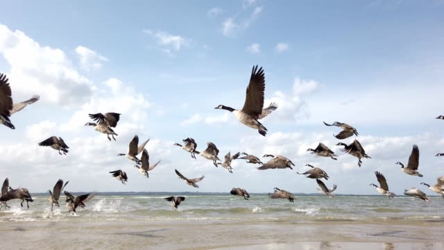 wild geese start from the beach and fly to the sky | wildgänse starten vom strand in den himmel - oca uccello d'acqua dolce video stock e b–roll
