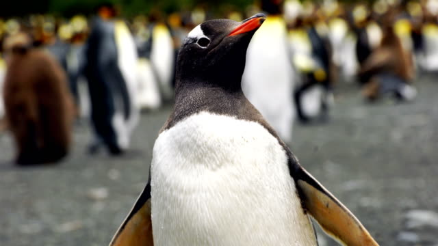 wild gentoo penguins standing on the shore - penguin stock videos & royalty-free footage