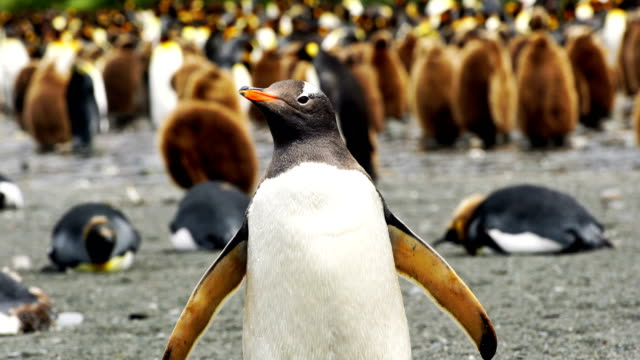 wild gentoo penguins standing on the shore - gentoo penguin stock videos and b-roll footage