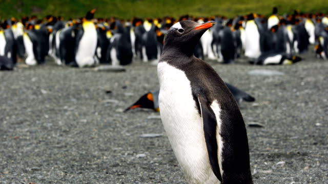 wild gentoo penguins standing on the shore - animals in the wild stock videos & royalty-free footage