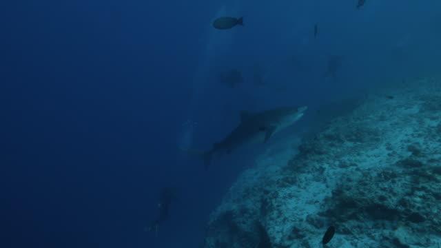 vídeos de stock, filmes e b-roll de tubarão gigante selvagem do tigre que cruza do penhasco do mar profundo em maldives - passear sem destino