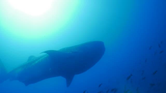 野生の巨大なジンベイザメ ウルフ島、ガラパゴス海水浴海底 - チャールズ・ダーウィン点の映像素材/bロール