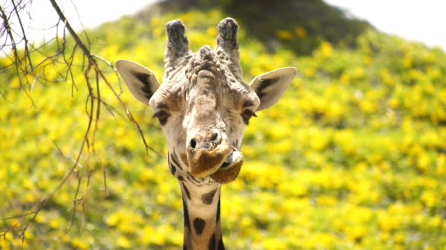 A wild giraffe chewing in a funny way