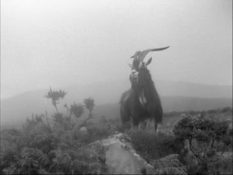 a wild goat stands on a rock in the irish countryside - 1950 stock videos & royalty-free footage