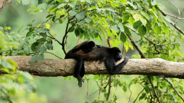 wild golden-mantled howler monkeys, costa rica - eco tourism stock videos & royalty-free footage