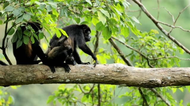 wild golden-mantled howler monkeys, costa rica - mammal stock videos & royalty-free footage