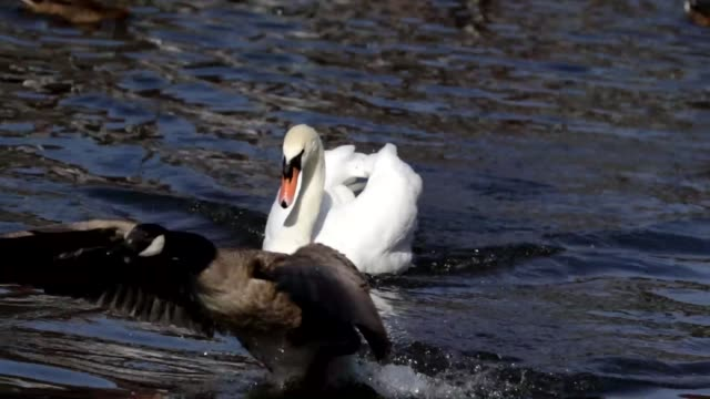 wild goose chase mute swan routs canada goose hd video - mute swan stock videos & royalty-free footage
