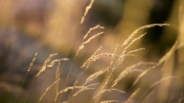 Wild Grass Straw in Sunset