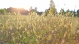Wild Grass Straw in Sunset
