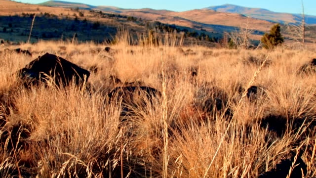 Wild grasses at dawn Kiger Lookout Diamond Steens Mountain Near Malhuer Wildlife Refuge 1