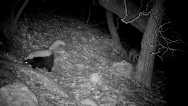 wild gray fox and skunk friends captured on a trail camera - wildlife conservation stock videos & royalty-free footage