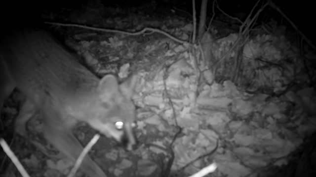wild gray fox captured on a trail camera - wildlife conservation stock videos & royalty-free footage