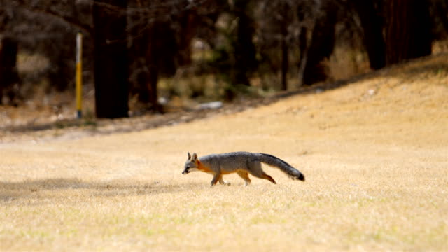 wild gray fox - south dakota stock videos and b-roll footage