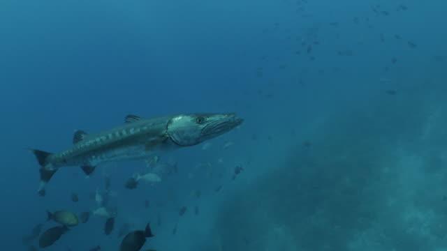 モルディブの海底に餌を与える野生の大バラクーダ - バラクーダ点の映像素材/bロール