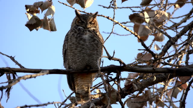 wild great horned owl looks around cottonwood tree sunset littleton colorado - cottonwood tree stock videos and b-roll footage
