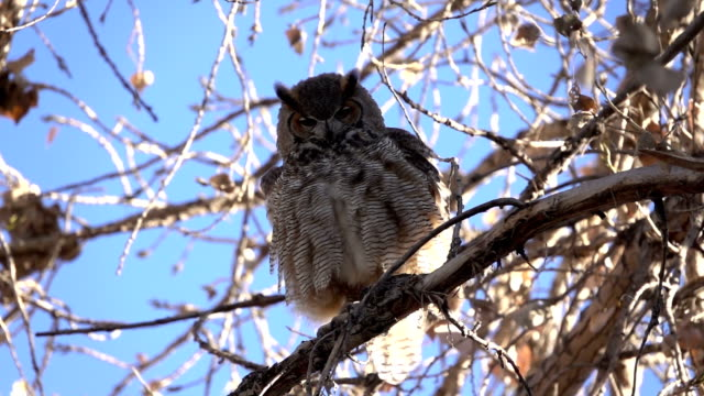 wild great horned owl shakes feathers slow motion video cottonwood tree littleton colorado - cottonwood tree stock videos and b-roll footage