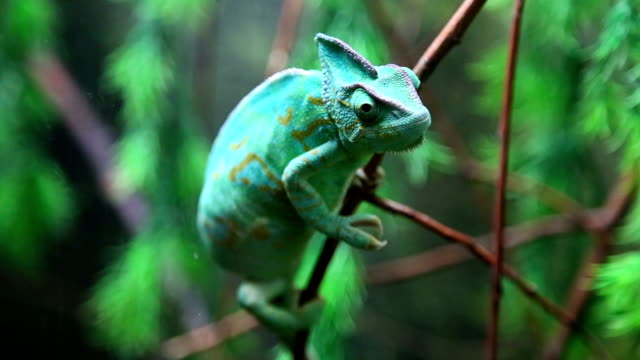 wild green chameleon - flexibility stock videos & royalty-free footage