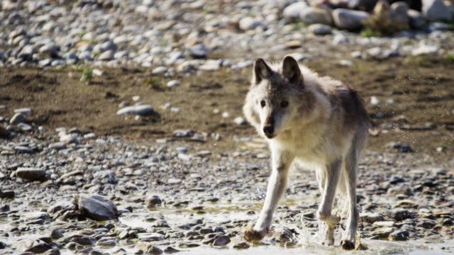 Wild grey wolf by river on National Reserve