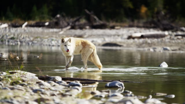 wild grey wolf crossing river on national reserve - canada video stock e b–roll