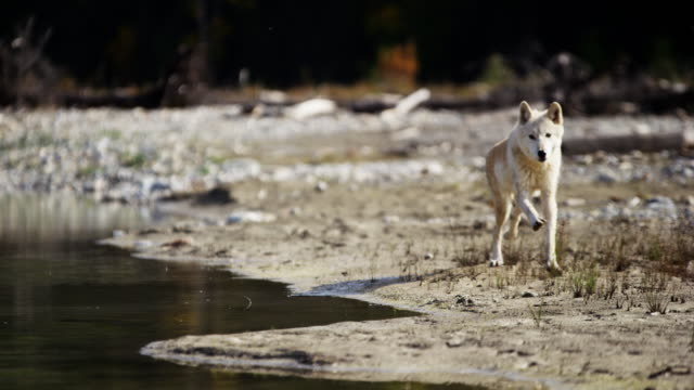 Wild grey wolf crossing river on National Reserve