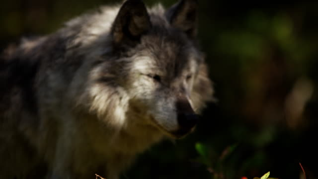 Wild grey wolf scavenging food on National Reserve
