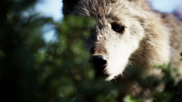 wild grey wolf scavenging food on national reserve - north america stock videos & royalty-free footage