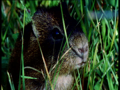 vídeos de stock, filmes e b-roll de wild guinea pig sits in grass, nose twitching, brazil - linha ondulada