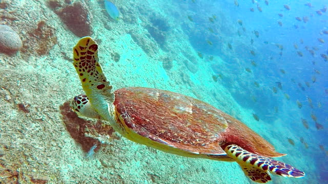 wild hawksbill sea turtle (eretmochelys imbricate).  listed as critically endangered (facing an extremely high risk of extinction in the wild in the immediate future). these animals are extremely rare. - extinct stock videos & royalty-free footage