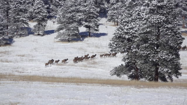 wild herd running through snowy elk meadows evergreen colorado winter - wildlife reserve stock videos & royalty-free footage