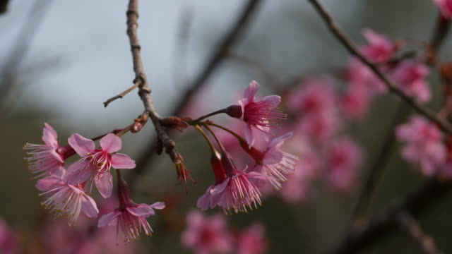 wild himalayan cherry, prunus cerasoides - greeting card stock videos & royalty-free footage