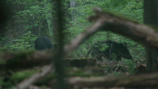 wild hog foraging in the black forest - animals in the wild stock videos & royalty-free footage