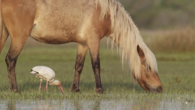 wild horse and white ibis feed in marsh, north carolina - usa stock videos & royalty-free footage