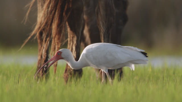 wild horse and white ibis feed in marsh, north carolina - djurmun bildbanksvideor och videomaterial från bakom kulisserna