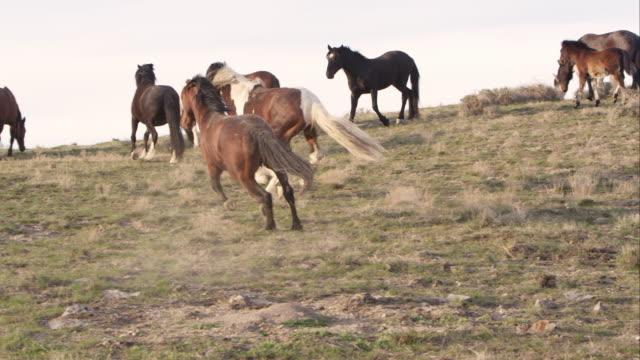vídeos de stock e filmes b-roll de wild horse chases off another male horse - grupo médio de animais