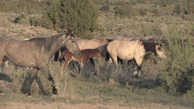 ms pan wild horse family walking on open range / santa fe, new mexico, united states - horse family stock videos & royalty-free footage