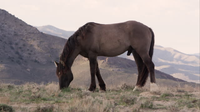 Wild horse grazing on top of hill with rolling hills in the valley behind.