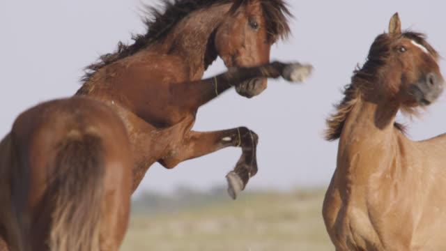 wild horse kicks out at another, north carolina - kicking stock videos & royalty-free footage