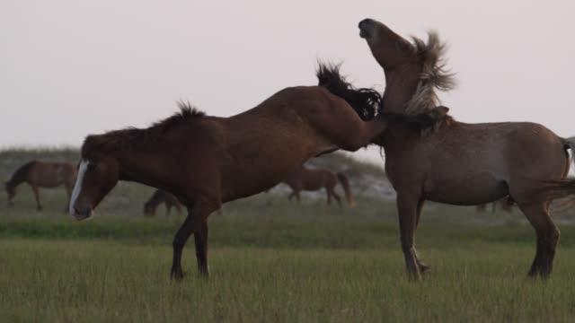 wild horse mare kicks stallion, north carolina - animals in the wild stock videos & royalty-free footage