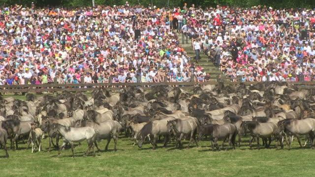 ms wild horse race at meerfelder bruch / dulmen, north rhine westphalia, germany - hooved animal stock videos and b-roll footage