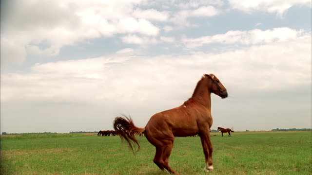 A wild horse rears up in a field.