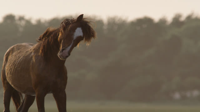 wild horse shakes its head at sunset, north carolina - animals in the wild stock videos & royalty-free footage