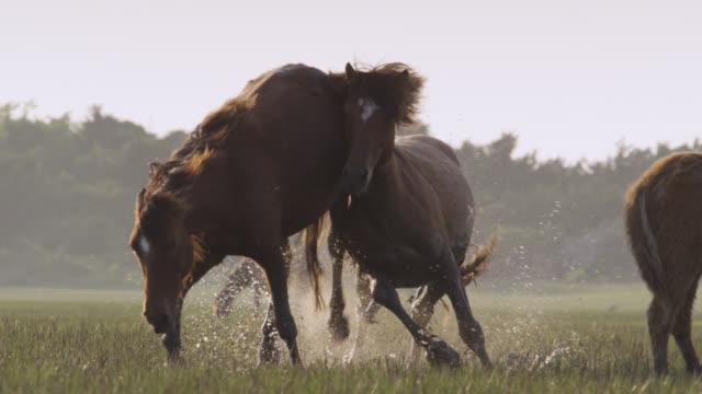 vidéos et rushes de wild horse stallion pursues mare, north carolina - accouplement cheval