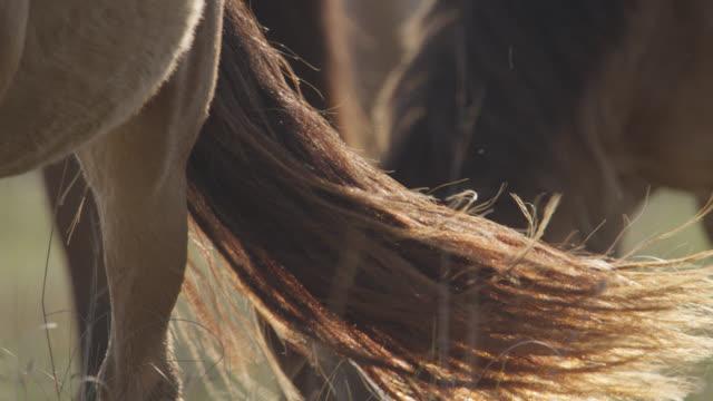 wild horse swishes tail as it grazes, north carolina - kleine gruppe von tieren stock-videos und b-roll-filmmaterial