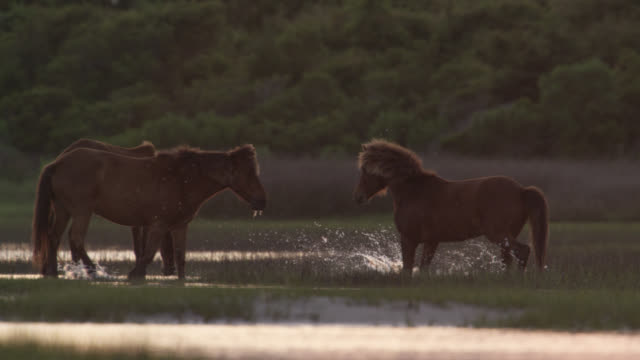 wild horse trots to others in marsh, north carolina - greeting stock videos & royalty-free footage