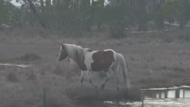 wild horse walks through a marsh amidst pandemic related restrictions on march 28, 2021 in chincoteague, virginia. there have been 546,299 covid-19... - animals in the wild stock videos & royalty-free footage